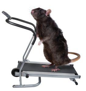 fitness rat